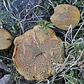 Suillus variegatus (2)