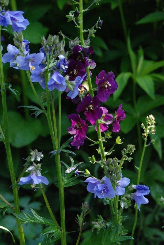 2015_0521_polemonium-Verbascum-violetta