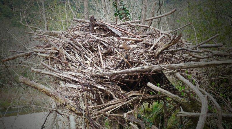 nid d'aigle