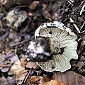 Tricholoma saponaceum (4)