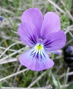 Violette1(s)