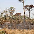 Centrafrique : quatre hectares du champ d'arachide brûlés par le feu de brousse au village yamboro
