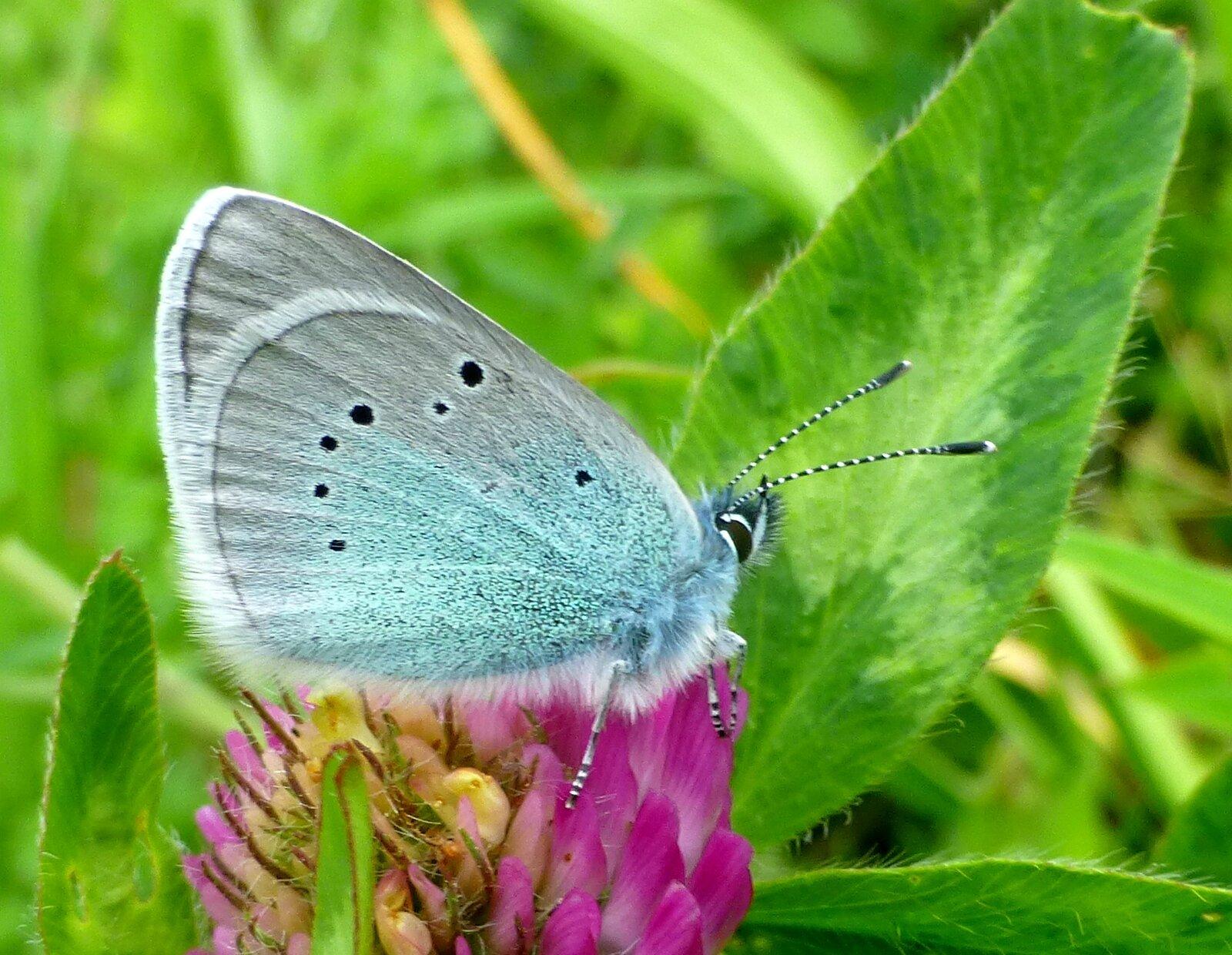papillon, un azuré