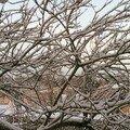 Le prunier sous la neige