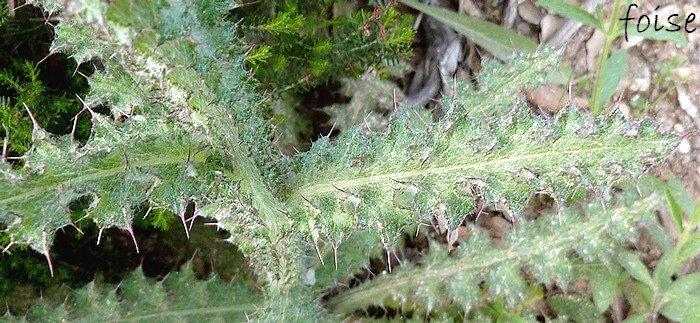 feuilles caulinaires longuement décurrentes