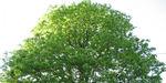 chlorelle_echlorial_arbre