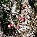 Camélias et Pommier du Japon 060218