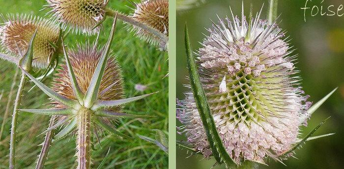 folioles arquées-ascendantes lancéolées en alêne épineuses dépassant la tête florale