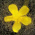 gouttes-fleur-jaune
