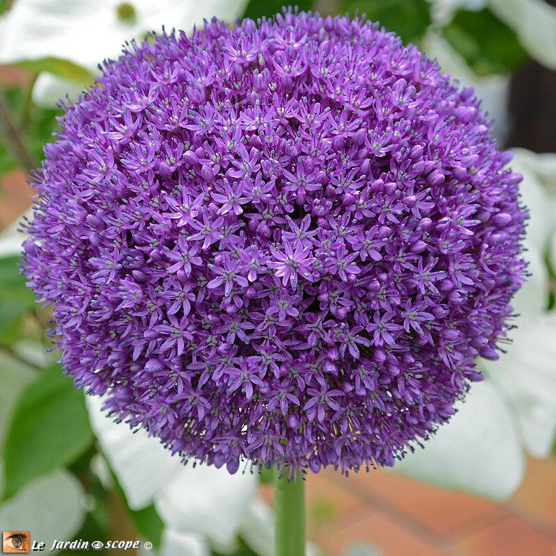 PAT_7313-Allium-Ambassador
