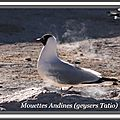 105 IMG_9841 mouette Andine305pps