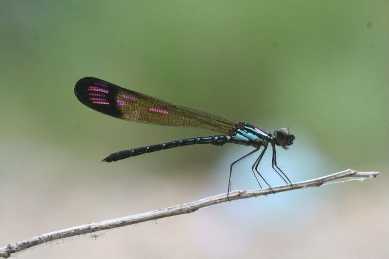 Heliocypha biforata