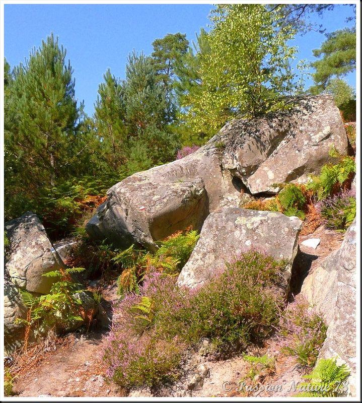 Balade dans la bruyère en forêt de Rambouillet (20)