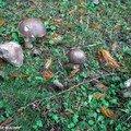 Bolet rude à variété noire • Leccinum scabrum