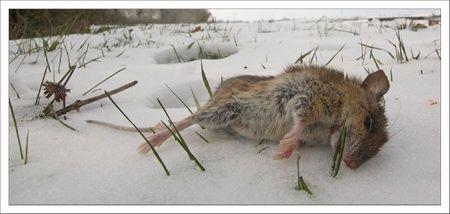 plaine neige souris morte GP 080212