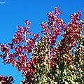 Fleurs et Liquidambars de Léon 230918