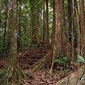 93 - La forêt de Mahoganys