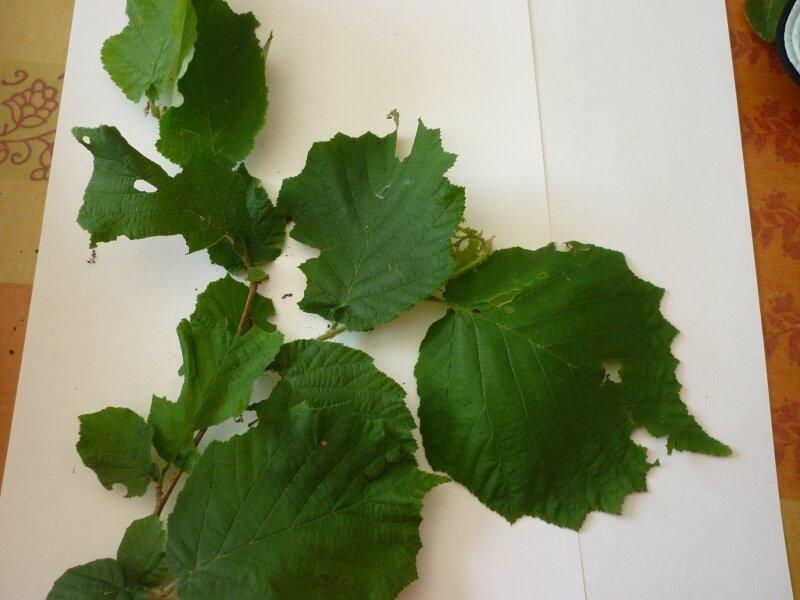 feuilles de noisetier (douce au toucher)