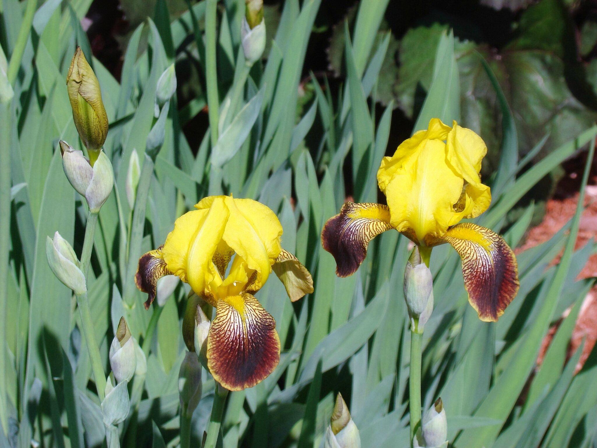iris jaune et rouge