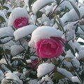 fleurs de neige vendéenne