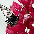 Le Grand Mormon - Papilio memnon (2)
