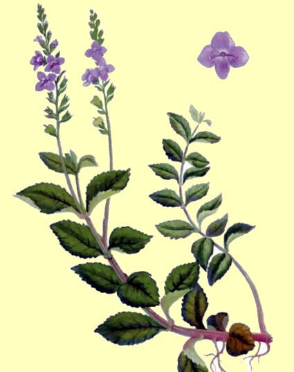 Véronique officinale 1