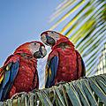 Challenge duo, aras rouges (costa rica)
