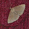 Zanclognatha tarsipennalis , Herminie de la Vigne-blanche