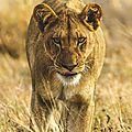 lion1tCfzB1ti9obeo1_540