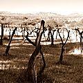 Vignes argentines