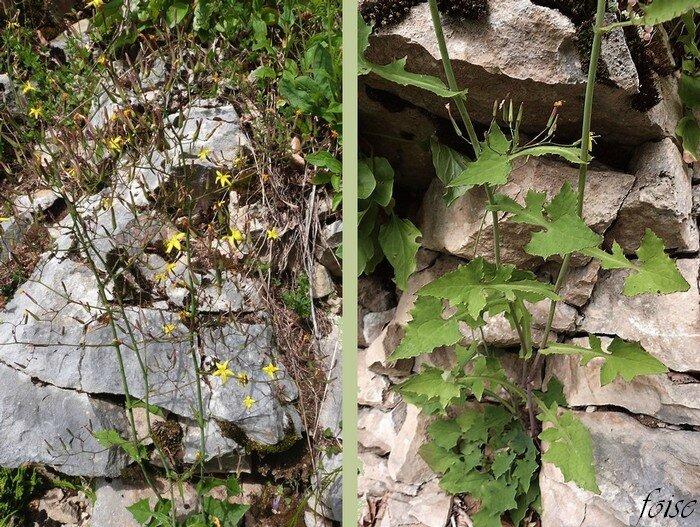 tige grêle rameuse feuilles lyrées