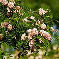 Beaupreau...cinq acacias rose fleurissent dans le parc