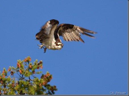 osprey_vol-almanore