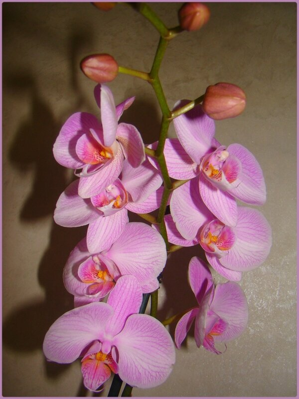 orchiviolet3