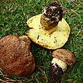 Butyriboletus appendiculatus (2)