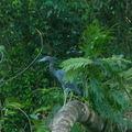 16 héron bleu parc de Tortuguero