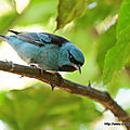 Dacnis bleu - photos