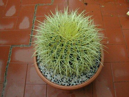 Echinocactus_grusonii
