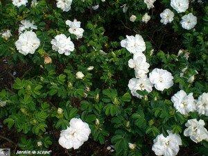 4769_rose_eglantier_blanc