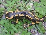 Salamandra_salamandra_002