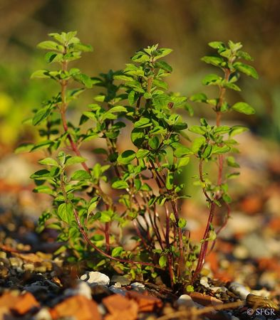 Origanum_majorana_Mediterranean_Native_Herb_for_Green_Roofs___4_