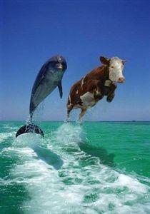 dauphin vache