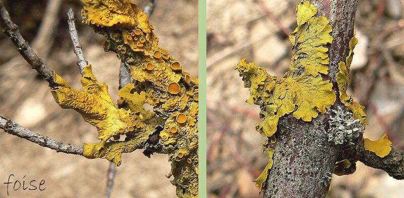 thalle foliacé, jusqu'à 15 cm jaune orangé