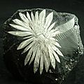 Chrysantheme stone ( 3 photos )