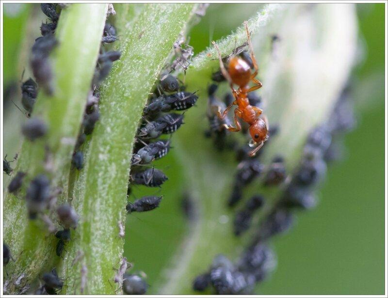 Galuchet fourmi miellat pucerons 2 010615
