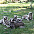 chiens_de_Braque_de_Weimar
