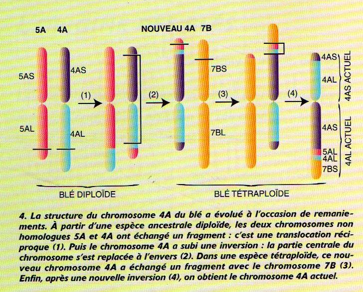 domestication figure 4 page 62 dossier PLS Janvier 2000 de la graine à la plante