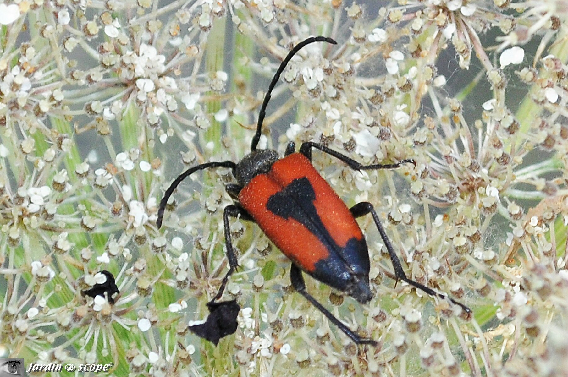 Lepture porte cœur • Corymbia cordigera • famille des Cerambycidae