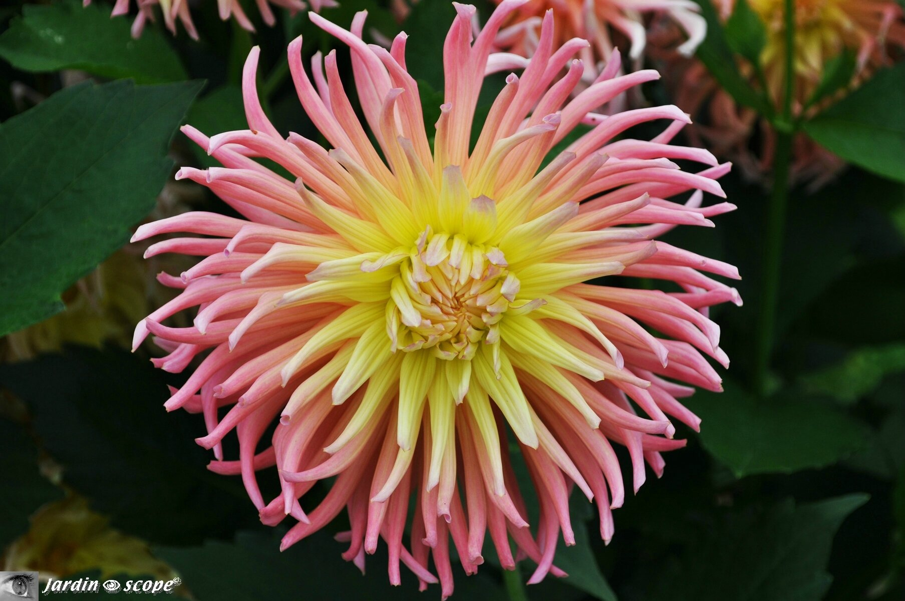 Dahlia Alfred-Grille