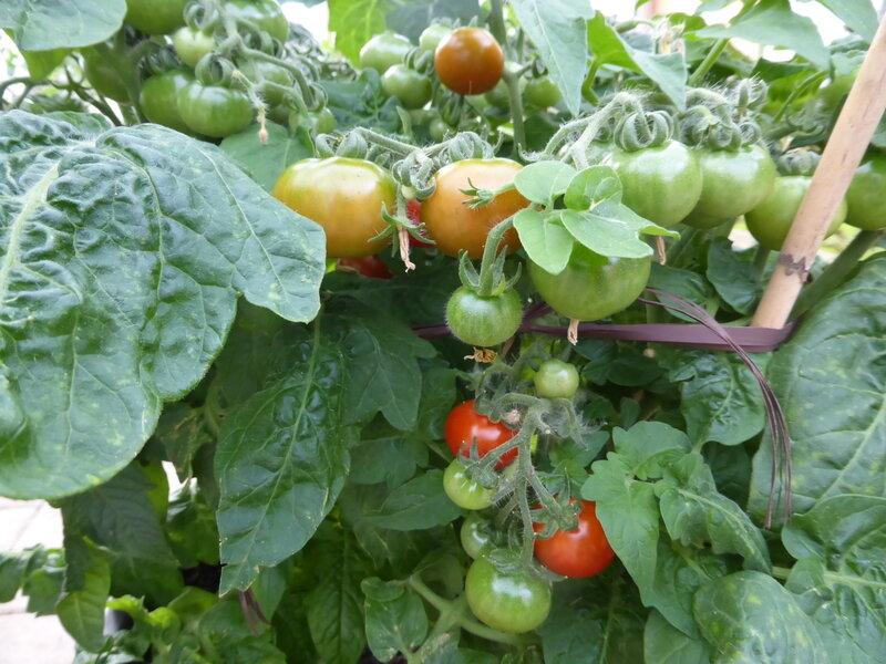 13_tomates_cerises__2_